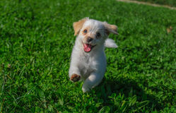 Cute puppie. Cute puppy running around the meadow Royalty Free Stock Photo