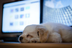 Cute puppie sleep. On desk with monitors in background Stock Photo