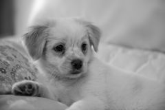 Cute puppie. Sweet puppy posing on sofa Royalty Free Stock Photography