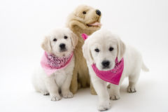 Cute puppies Stock Photo