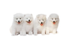 Cute puppies. White puppy with smiling face in white background Royalty Free Stock Photography