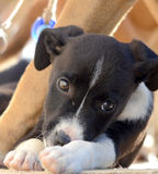 Cute Puppies of Amstaff dog, animal theme Stock Photo