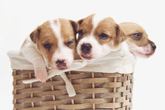 Cute puppies in a basket isolated on white Royalty Free Stock Photography
