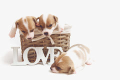 Cute puppies in a basket isolated on white Royalty Free Stock Images