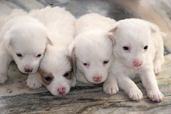 Cute puppies;the best antidepressants in existence. stock photo