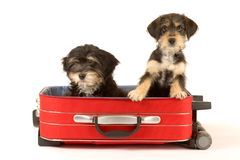 Cute puppies brothers in the suitcase. Two cute puppies brothers in the suitcase Stock Image
