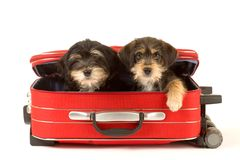 Cute puppies brothers in the suitcase. Two cute puppies brothers in the suitcase Stock Photo