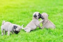 Cute puppies brown Pug in green lawn. Cute puppies brown Pug playing together in green lawn royalty free stock photo
