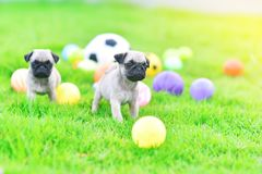 Cute puppies Pug in green lawn. Cute puppies brown Pug playing together in green lawn stock photography