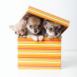 Cute puppies chihuahua in box Royalty Free Stock Photography