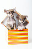 Cute puppies chihuahua in box Stock Images