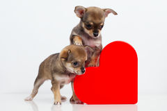 Cute puppies Chihuahua with red heart Royalty Free Stock Photo