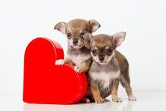 Cute puppies Chihuahua with red heart Stock Photo
