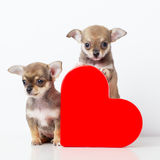 Cute puppies Chihuahua with red heart Stock Photography