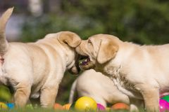Cute puppies with colored balls Royalty Free Stock Image