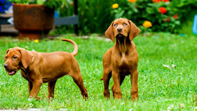 Cute puppies. A couple of cute pups looking around playfully Stock Images