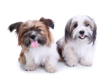 Cute puppies couple smiling and sitting on the floor. A couple of cute havanese puppies smiling and sitting on the floor, isolated against white studio Stock Photos