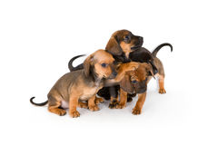 Cute puppies of dachshund. Group of adorable puppies of dachshund, isolated on white Royalty Free Stock Photo