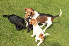 Cute puppies with dog. Cute puppies playing on green grass with their mum - dog royalty free stock photography