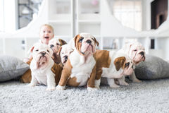 Cute puppies of English bulldog sitting on the carpet with the little girl.  Stock Photo