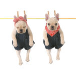 Cute puppies. Cute french bulldog puppies hanging out on the clothes line isolated on white background - 10 weeks old royalty free stock images
