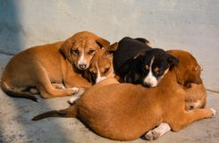 Cute Puppies Are Lying Together. royalty free stock photography