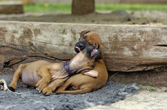 Cute puppies playing Royalty Free Stock Photo