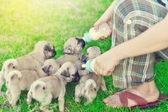 Cute puppies Pug eating goat milk. In nursing bottle royalty free stock photo