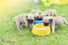 Cute puppies Pug eating goat milk stock photo