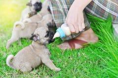 Cute puppies Pug eating milk. Cute puppies Pug eating goat milk in nursing bottle royalty free stock photo