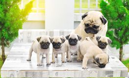Cute puppies Pug with mother. Cute puppies Pug playing with their mother on marble table stock photo