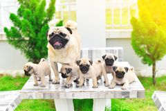 Cute puppies Pug with mother. Cute puppies Pug playing with their mother on marble table stock photography