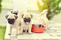 Cute puppies Pug on marble table. Cute puppies Pug playing together on marble table stock photography