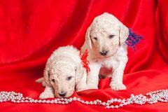 Cute puppies. On a red background stock photography