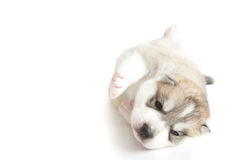 Cute puppies siberian husky Royalty Free Stock Photography