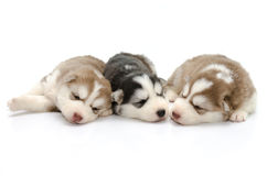 Cute puppies siberian husky sleeping on white background Stock Photography