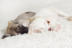 Cute puppies sleeping. A funny cute puppies sleeping Royalty Free Stock Photo
