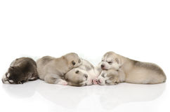 Cute puppies sleeping Royalty Free Stock Photography