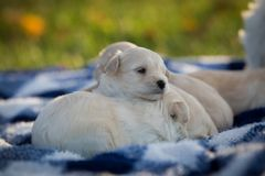 Cute puppies snuggling on a blanket. Cute little tan puppies snuggling on a blue and white checkered blanket stock photography