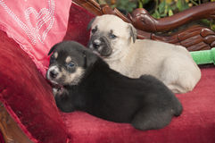 Cute Puppies Royalty Free Stock Photography