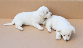 Cute puppies Royalty Free Stock Images