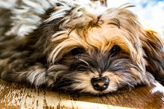 Cute pupppy. This is what runs the house Stock Photo
