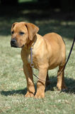 Cute Boerboel puppy. Beautiful face of an inactive Boerboel dog puppy standing and watching other dogs Royalty Free Stock Images