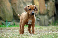 Cute puppy Stock Images