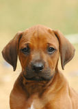 Cute puppy. Rhodesian Ridgeback head portrait of a young little red wheaten dog puppy facing the other puppies of the litter. This baby is very cute royalty free stock image