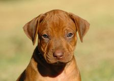 Cute puppy. Head portrait of a liver nosed young Rhodesian Ridgeback dog puppy watching the photographer in sunshine utdoors. This baby is very cute Stock Photography