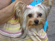 Cute Puppy. In A Purse Stock Photos