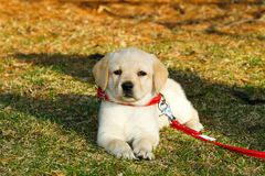 Cute Puppy. Yellow Labrador Retriever puppy lying on the grass; in horizontal orientation, with copy space for text Royalty Free Stock Photo
