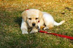Cute Puppy. Yellow Labrador Retriever puppy lying on the grass; in horizontal orientation, with copy space for text Stock Photo