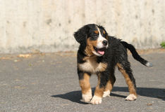 Cute puppy. A lovely Bernese mountain dog puppy stock image